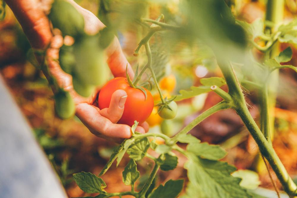 Michel-au-Jardin-Les-tomates